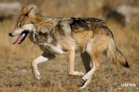 Le loup du Mexique