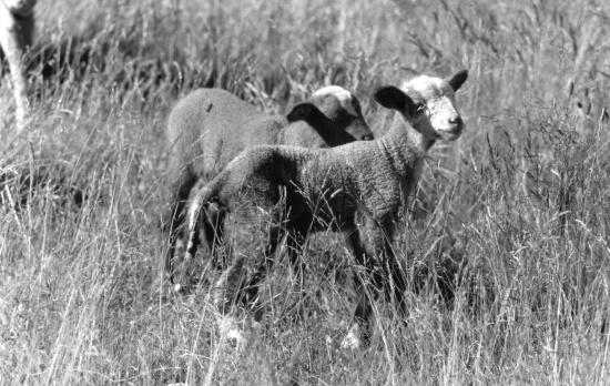 2 agneaux Mauré Rous
