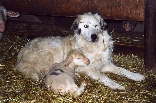 Le patou et l'agneau : et plus si affinités...