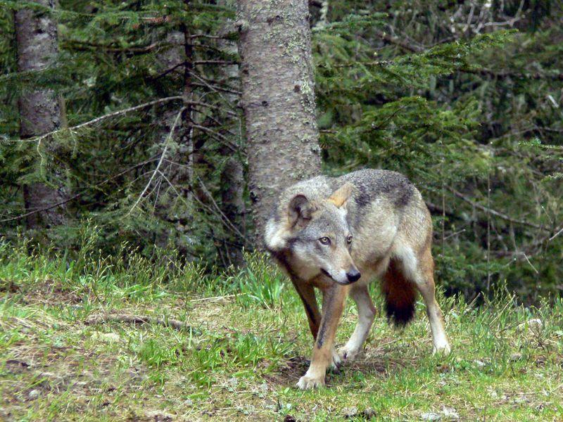 Loup italien © V.Vignon