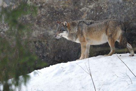 SMontagnon-Loups-0088
