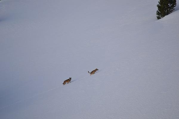 lachize-loup-alpes