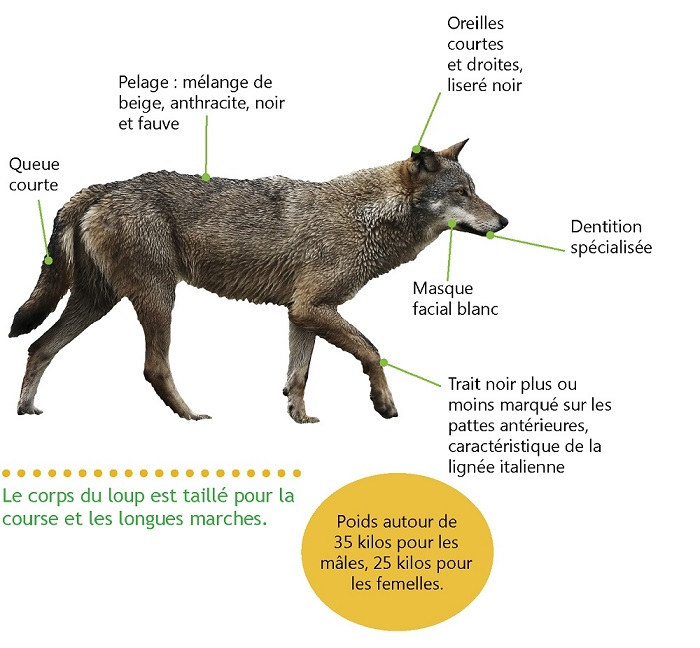 loup-description-FERUS