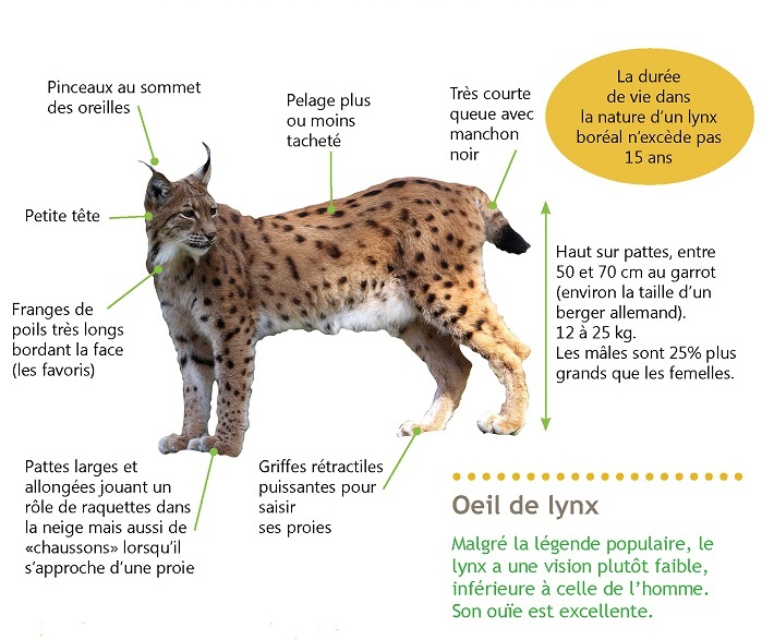 description lynx