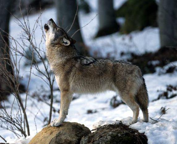 Le Loup est en Suisse dans LOUP loup-annonce-sarkosy