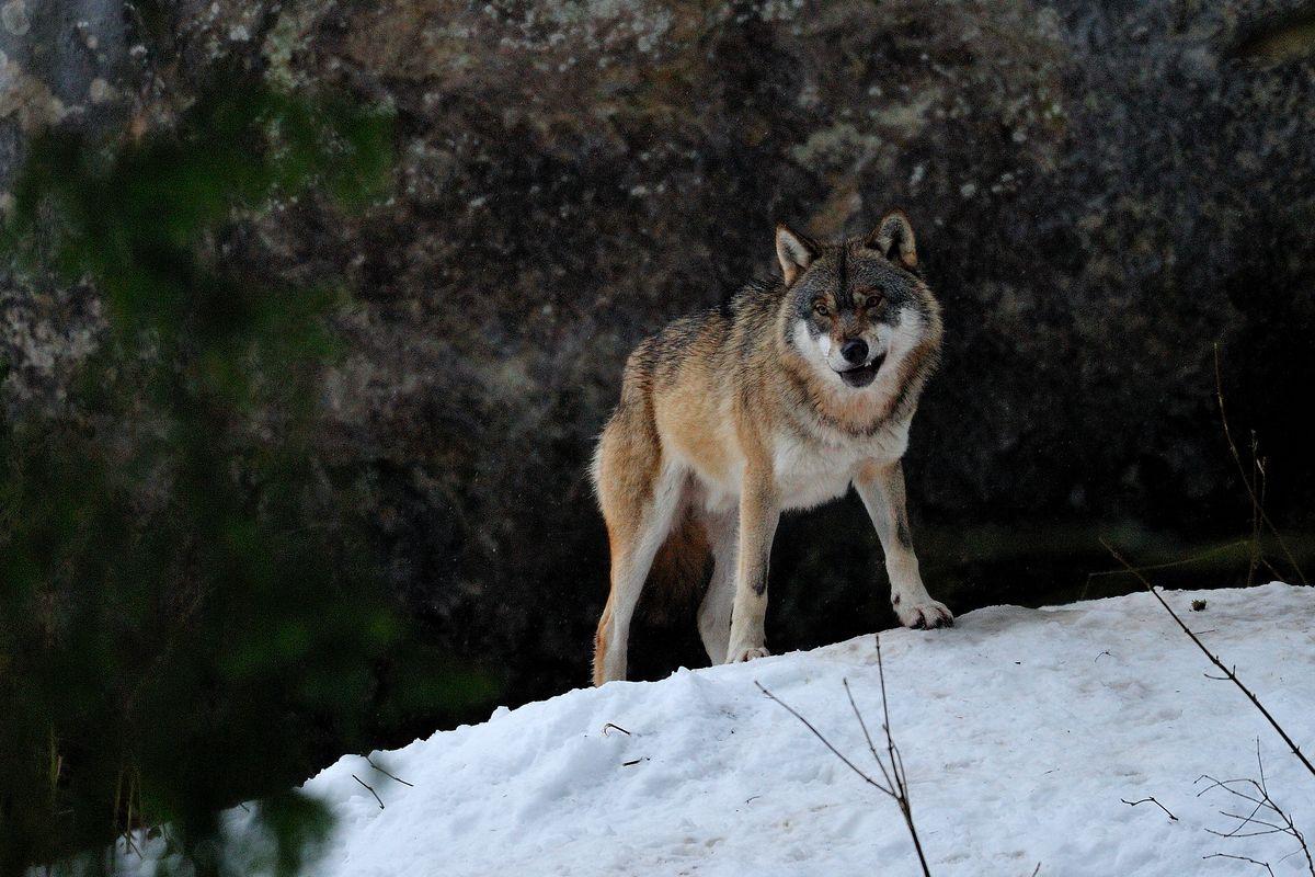 Bien-aimé Un loup du nord-est de l'Europe dans le Tyrol | FERUS HC34