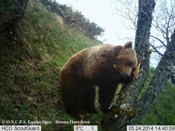 ours balou ariege pyrénées