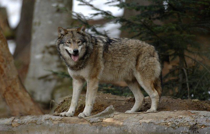 Tir pour la lune adolescent loup