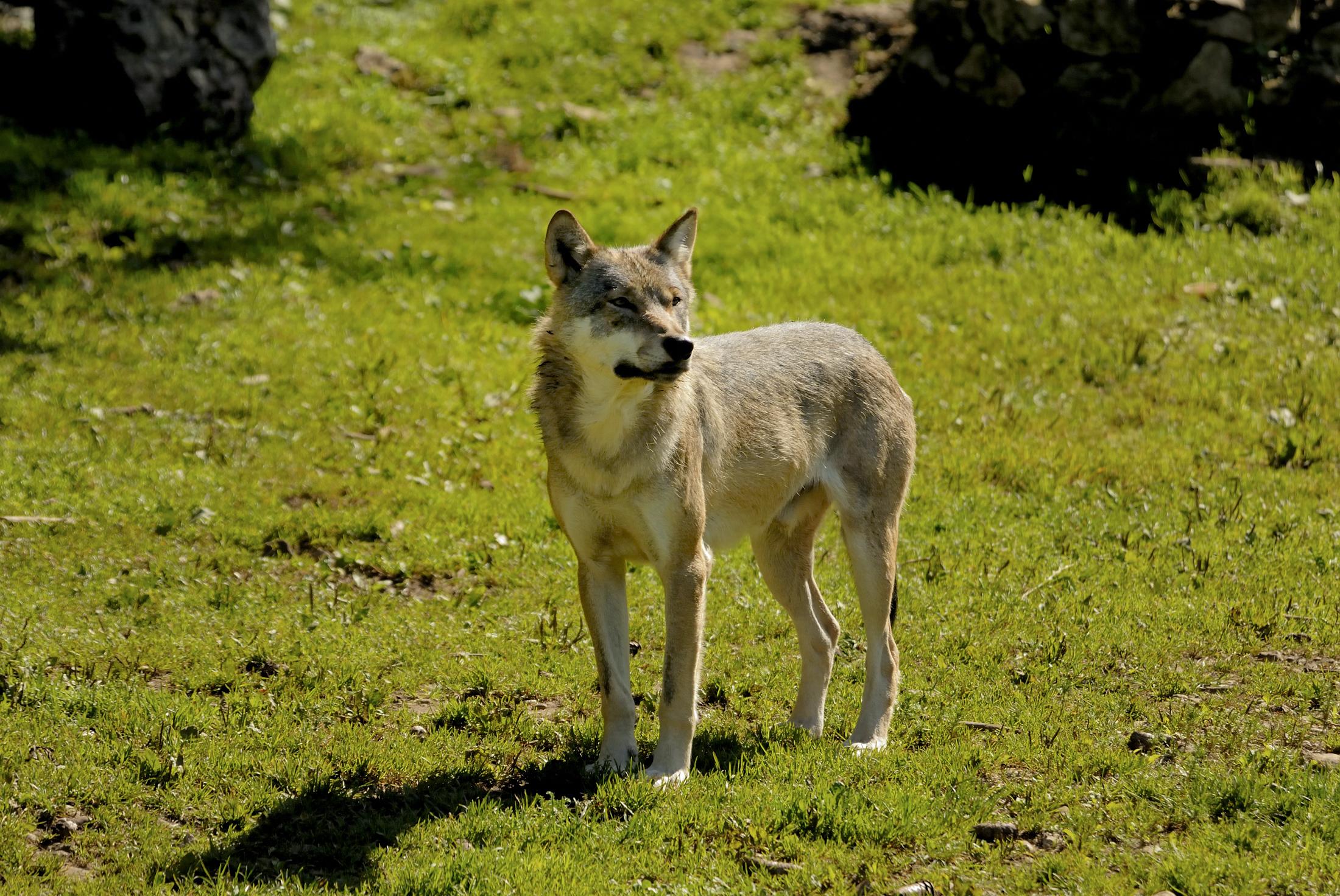 FRANCE LOUPS - Tout savoir sur le Loup