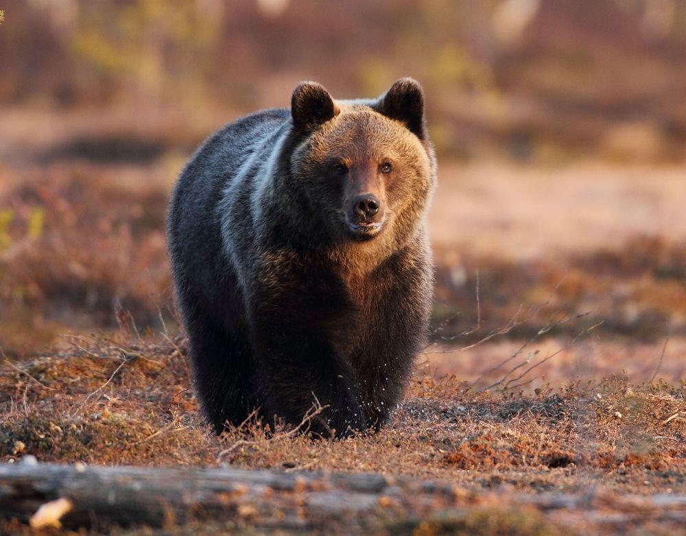 communiqu l 39 ours et les arr t s chasse en ari ge ferus. Black Bedroom Furniture Sets. Home Design Ideas