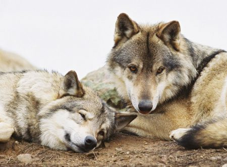 consultation-publique loup