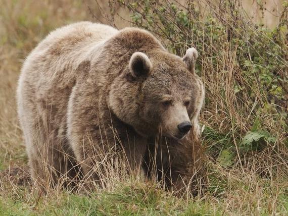 L'ours est un des animaux à partager cet avantage avec nous.