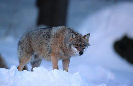 loup-ferus-ministere-eologie