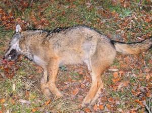 loup mort majella