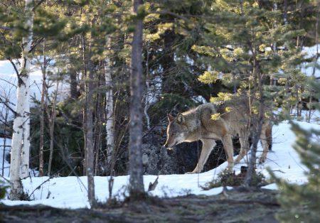 declin loup finlande