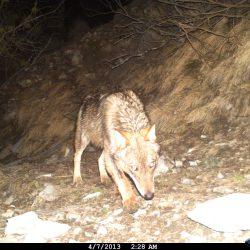 loup seul alpes