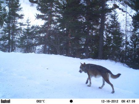 loup alpes