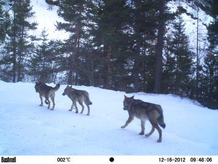 3 loups alpes
