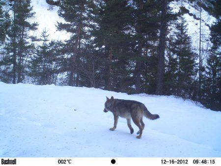 loup alpes2