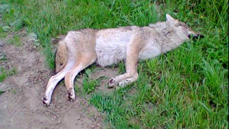 Le loup de Luttelgeest © J. van der Linde