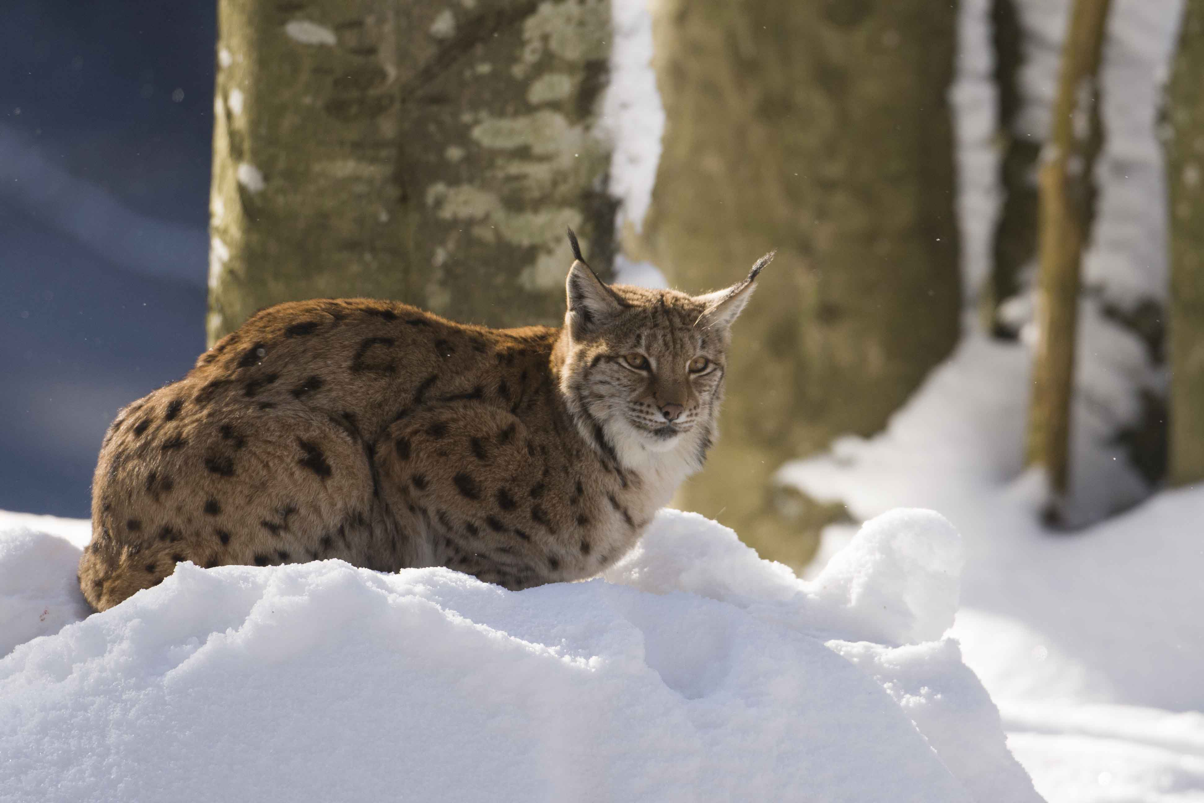 Beautiful lynx posing for me | Flickr - Photo Sharing!