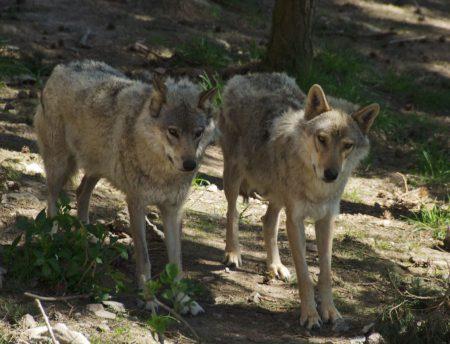 loups julien garde