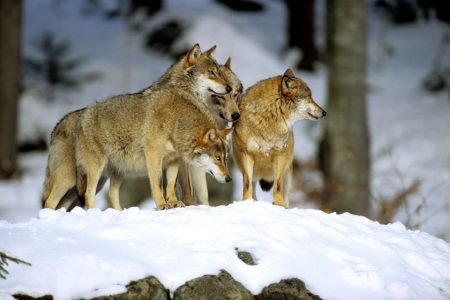 4-loups-neige-R-Clerc