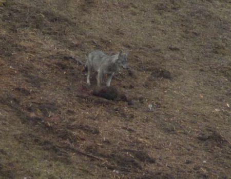 Le loup inquiet avec à ses pieds le sanglier inerte  P.VAN OYE 47