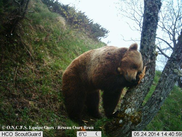 Ours de la forêt datant