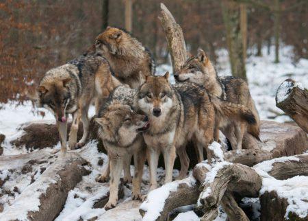 loups-sainte-croix