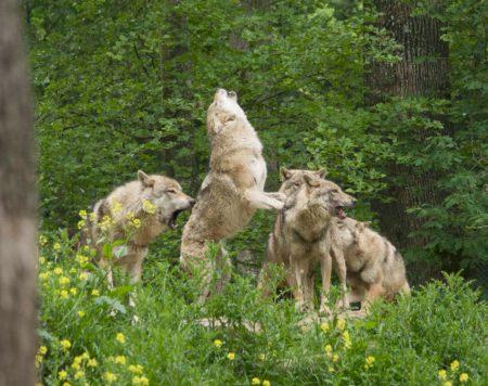 loups-AK