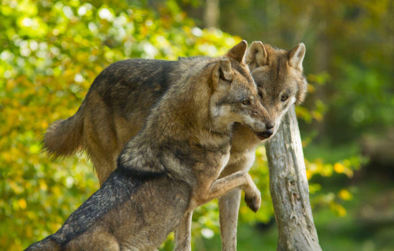 """Résultat de recherche d'images pour """"loup en été"""""""
