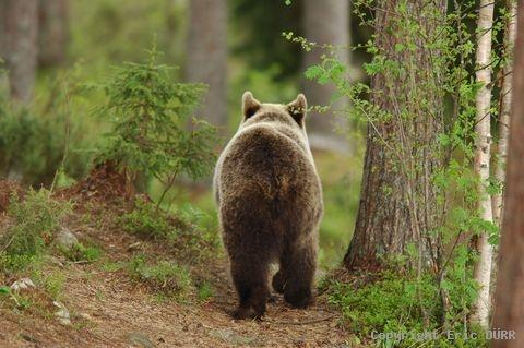 ours tir à l'arc datant