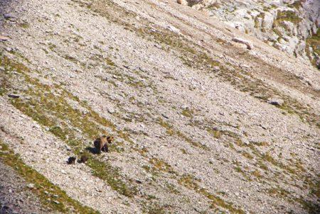 trentin  Orsa con due cuccioli in Brenta meridionale