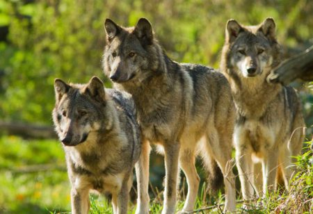 recours-3-loups-canjuers-morgane