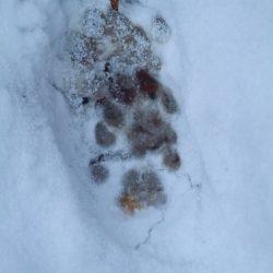 empreinte lynx neige