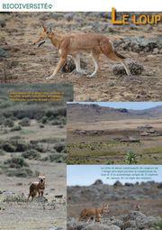 loup-ethiopie-gazette