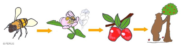 chaine alimentaire de l'abeille à l'ours