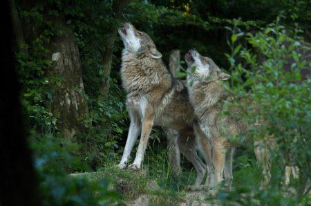 arrêtés-loups