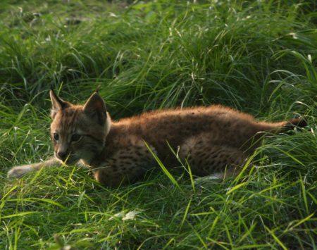jeune lynx morgane