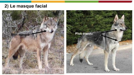 chien loup 2