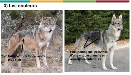 chien loup 3