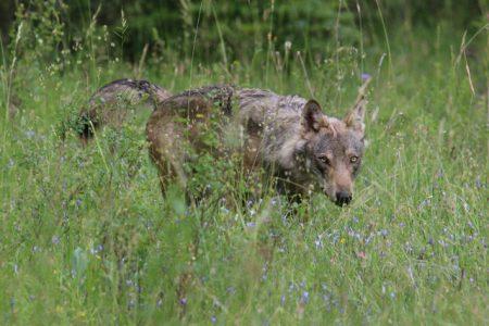 loup alpes ferus