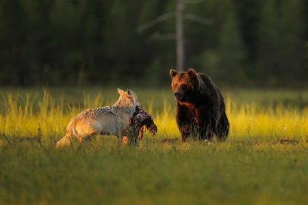 ours loup europe