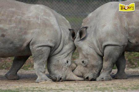 thoiry rhinoceros
