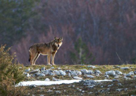 loup-alpes-vivinius