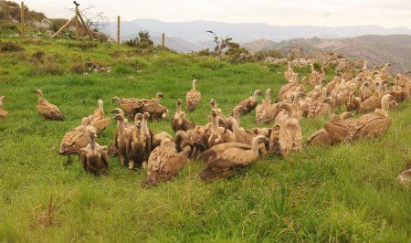 vautours asturies