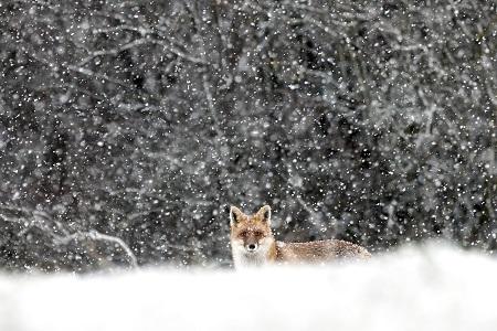 joel brunet renard FERUS