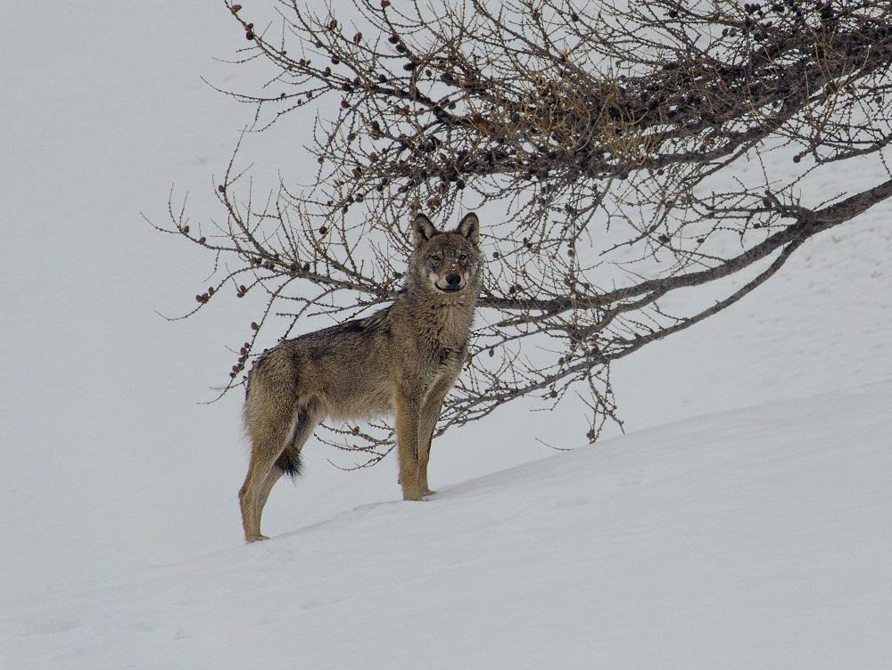 """Résultat de recherche d'images pour """"marche avec les loups jean michel bertrand photos"""""""